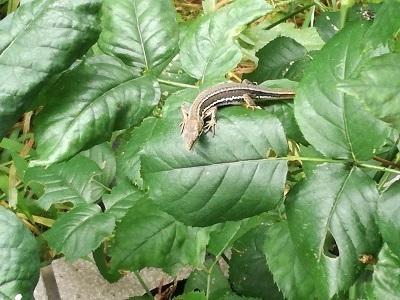 カナヘビ1.jpg