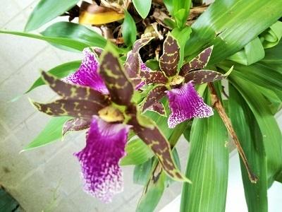 紫香蘭3.jpg