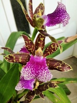 紫香蘭4.jpg